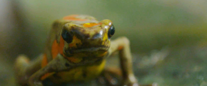 Breeding of rare Colombian frogs undercuts illegal traffickers